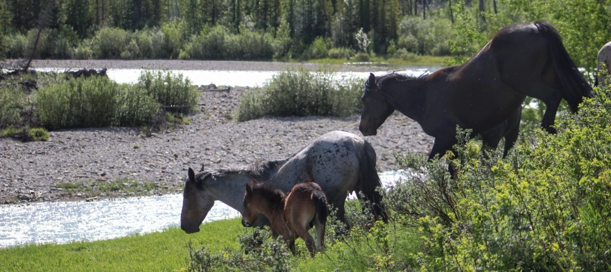 Wild Horses and the Law